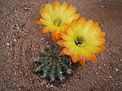 Echinopsis-hybrid-Day-Dream.jpg